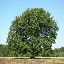 Oak, pedunculate
