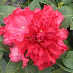 Rhododendron red, Markeeta's Prize