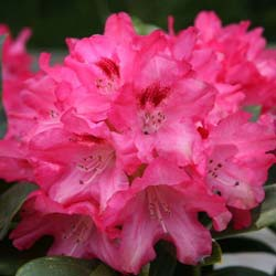 Rhododendron, Sneezy