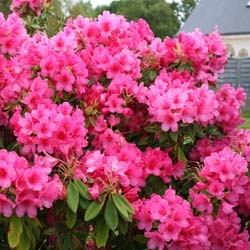 Rhododendron, Anna Rose Whitney