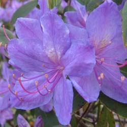 Rhododendron, Augustinii