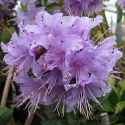 Rhododendron, Penheale Blue