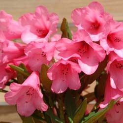 Rhododendron, Winsome