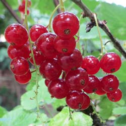 Currant, Red