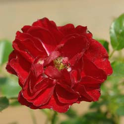 Rose 'Fairy Donkerrood'