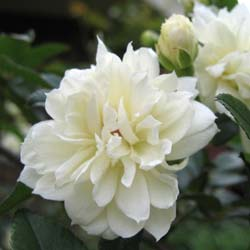 Rose Lady Banks' Alba Plena