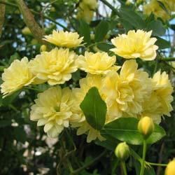 Rose Lady Banks' Lutea