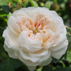 Rose 'Glamis Castle'