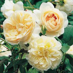 Rose 'Lichfield Angel'