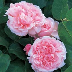 Rose 'St. Swithun'