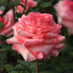 Rose 'Arthur Rimbaud'