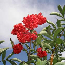 Elderberry, red
