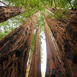Redwood, coast