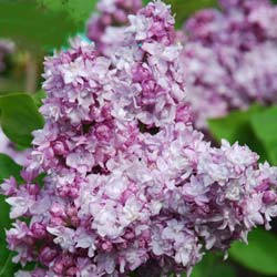 Lilac, common 'Katherine Havemeyer'