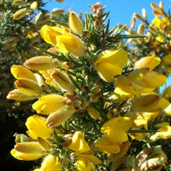 Gorse, common
