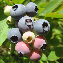Blueberry Bush 'Jersey'