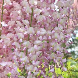 Wisteria 'Pink Ice'