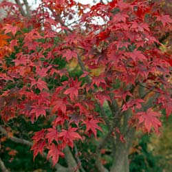 Maple, Japanese 'Bloodgood'