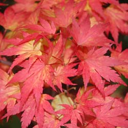 Maple, Japanese 'Orange Dream'
