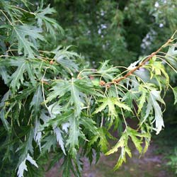 Maple, silver 'Laciniatum Wieri'