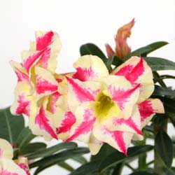 Desert Rose, Bicolour Flowers