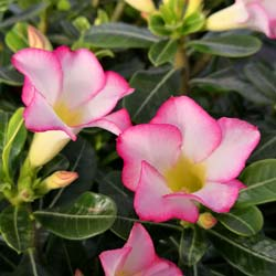 Desert Rose, Pink Flowers