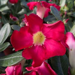 Desert Rose, Red Flowers