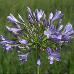 African lily Blue