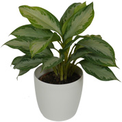 Chinese Evergreen Silver Bay + White Cachepot