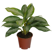 Chinese Evergreen 'Silver Bay' - C12