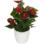 Anthurium red + White Cachepot