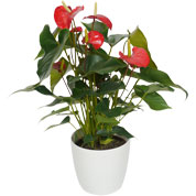 Interior Plant - Anthurium red + White Cachepot