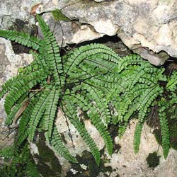 Fern, Maidenhair spleenwort
