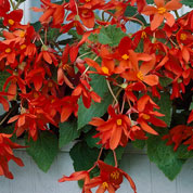 Begonia Bertinii orange-red