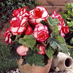 Begonia Double 'Bouton de rose'