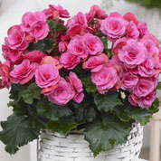 begonia double rose