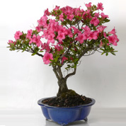 Bonsai Azalea 15 years