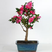 Bonsai Camellia 15 years