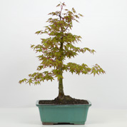 Japanese Maple Bonsai 10 years