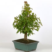 Bonsai Trident Maple 10 years
