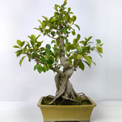 Bonsai Ficus Retusa (Tiger Bark Ficus) 15 years