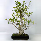 Bonsai Ficus Retusa (Tiger Bark Ficus) 8 years