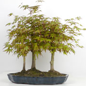 Japanese Maple Bonsai Forest 3 trunks 5-7 years