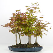 Japanese Maple Bonsai Forest 5 trunks 5-7 years