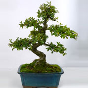 Bonsai Chinese Elm 08 years