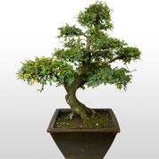 Bonsai Chinese Elm 35 years