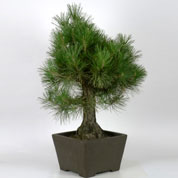 Bonsai Japanese Black Pine 25 years