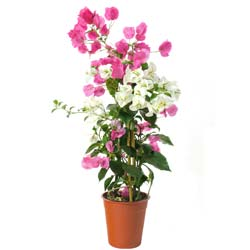 Bougainvillea, 2 colors