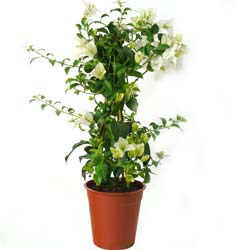 Bougainvillea, White