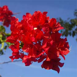 Bougainvillea, Red